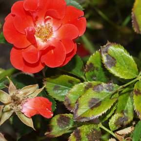 Rød rose med stråleplet på bladene