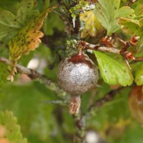 Nærbillede af stikkelsbær der er ramt af meldugsvampen