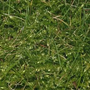Nærbillede at mos i en græsplæne
