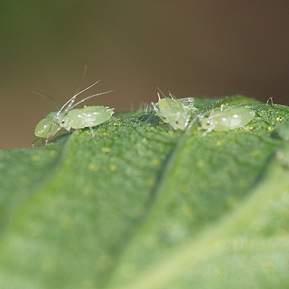 Nærbillede af bladlus på et grønt blad
