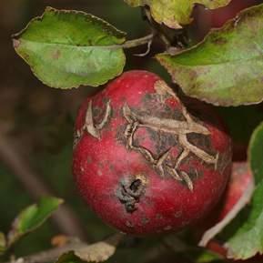 Tydelig skurv på et æble