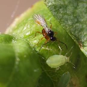 Nærbillede af snyltehveps og bladlus på et blad