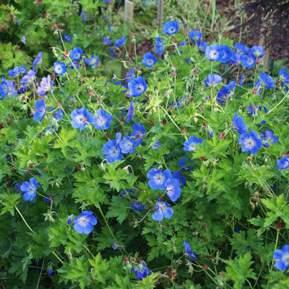 Billede af et fint bunddække med blå blomster