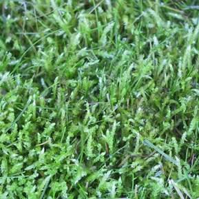 Igen et nærbillede at en græsplæne med mos i