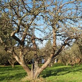 Billede af et gammelt træ, midt i en have