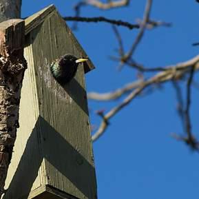 Billede af en fugl der kigger ud af sit fuglehus