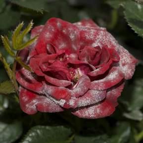 En rød rose der har meldug på kronbladene