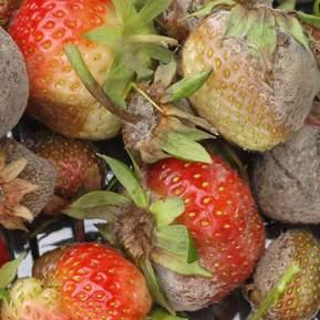 Mugne jordbær fra et jordbærbed