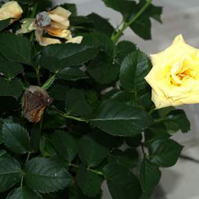 Visne gule roser