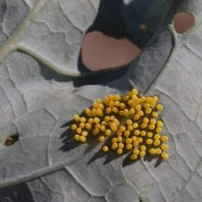 Kålormeæg på undersiden af et blad
