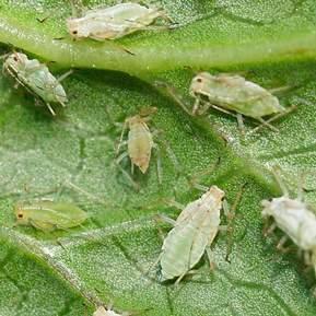 Nærbillede af store skadeinsekter på et blad