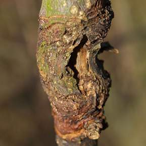 Frugttræ med et åbent sår