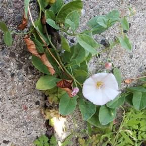 Billede af en snerle der blomstre