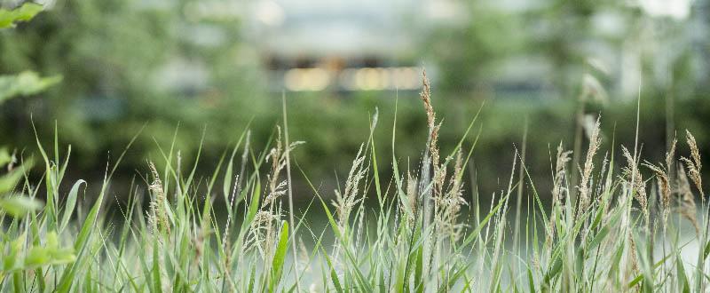 Græsset gor i byen