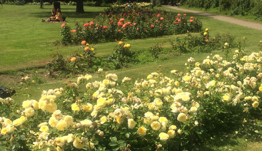 Rosenbuske med røde og gule roser