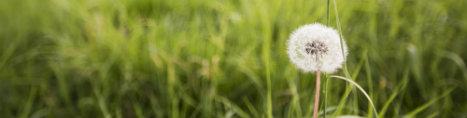Billede af mælkebøtte på græsplæne
